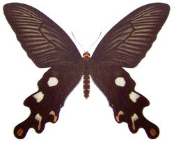Atrophaneura dasarada f.png