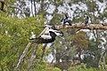 Australian Pelican ( dinner may be waiting ) - Flickr - friendsintheair.jpg