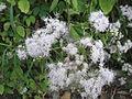 Austroeupatorium inulifolium-roadside-1-yercaud-salem-India.JPG