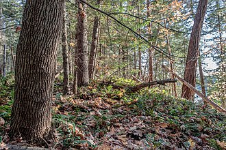 Temperate broadleaf and mixed forest - Mixed forest in autumn (predominantly Douglas fir and Bigleaf maple trees, with Oregon grape ground cover), southern British Columbia