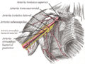 Axillary branches es.png