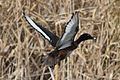 Aythya australis -Coolart Wetlands, Mornington Peninsula, Victoria, Australia -male-8.jpg
