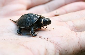Bog turtle - A baby bog turtle held in a palm