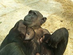 Common Chimpanzee infant and mother.