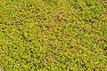 Bacopa monnieri - Agri-Horticultural Society of India - Alipore - Kolkata 2013-01-05 2264.JPG