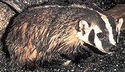 American badger.
