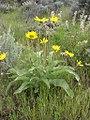 Balsamorhiza sagittata-5-10-05.jpg