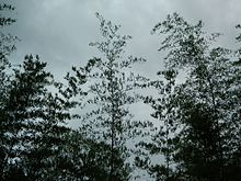 Bamboo Canopy in the Western Ghats of India & Canopy (biology) - Wikipedia