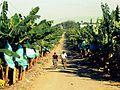 Banana Plantation Panabo City.jpg