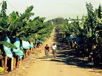 Panabo - Banana plantations in Panabo