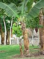 Banana tree with green bananas.jpg