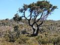 Banksia ilicifolia bonsai1 orig.JPG