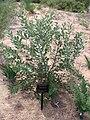 Banksia sceptrum.jpg