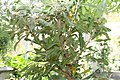 Banksia serrata 4zz.jpg