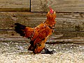 Bantam Rooster with beard and vulture hocks.jpg