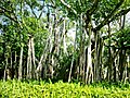 Banyan Trees (22041601).jpeg