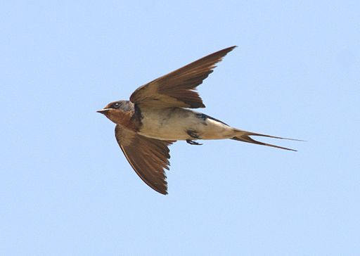 Barn Swallow flight by Dr. Raju Kasambe DSC 8068 (1)
