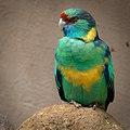 Barnardius zonarius -Palmitos Park, Gran Canaria, Canary islands, Spain-8a.jpg