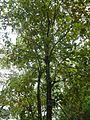 Barringtonia acutangula Lộc vừng.JPG