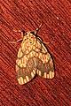 Barsine euprepia (Eribidae- Arctiinae- Lithosiini) (22260657914).jpg