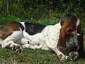 Basset hound under the sun.jpg