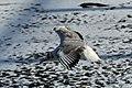 Bassin des Morts gelé, 2012-02-11, mouette rieuse 04.jpg