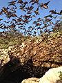 Bats emerging from Davis Cave (9415997068).jpg