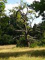 Baum auf der Pfaueninsel.jpg