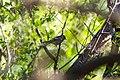 Bay-breasted warbler (47690187032).jpg