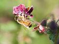 Bee gathering nectar (14118166754).jpg