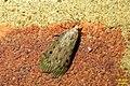 Bee moth, f. (regular BG visitor) (33882441863).jpg
