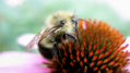 Bee on coneflower 2 (6067691569).png