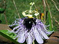 Bee on passion flower.JPG