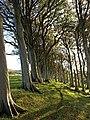 Beech Trees, Fairlie - geograph.org.uk - 1028690.jpg