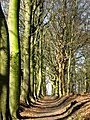 Beech path near Oud Valkeveen, leading to Gooimeer. Province of North Holland, Netherlands - panoramio.jpg