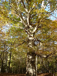<i>Fagus grandifolia</i> Species of tree