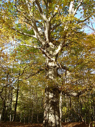 Fagus grandifolia - Image: Beech with Branches