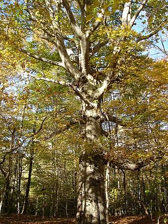 North American beech (Fagus grandifolia), seen in autumn Beech with Branches.jpg