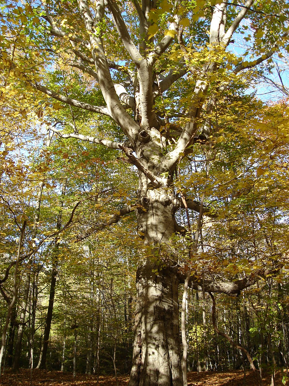 Beech with Branches