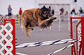 Belgian Tervuren agility Flickr.jpg