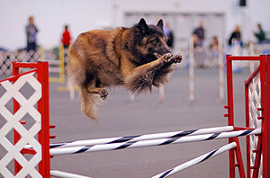 A Belgian Tervuren going over a jump in an agi...