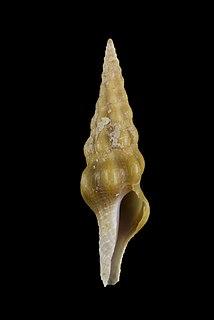 <i>Benimakia lanceolata</i> Species of gastropod