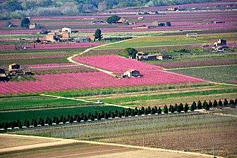 Benissanet, riu Ebre, floració dels presseguers.jpg