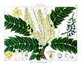Berberis leschenaultii Rungiah.jpg