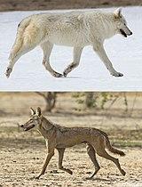 Bergmann's rule - Canis lupus.jpg