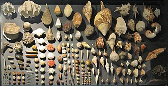 Mollusca - Diversity and variability of shells of molluscs on display.