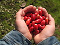 Berries - Miracle Fruit Farm.JPG