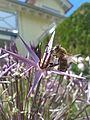 Biene auf Zierlauch2.jpg