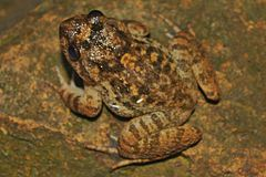Big-headed Frog (Limnonectes fujianensis) 大頭蛙9.jpg