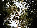 Bird Wreathed Hornbill Rhyticeros undulatus IMG 9195 (18).jpg